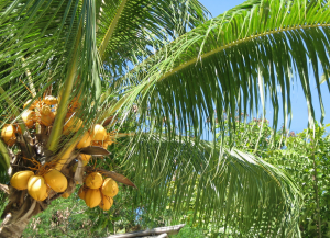 Coconut oil from suppliers in the Philippines would be a truly natural, more sustainable alternatives to palm kernel oil. Photo: Adrian Bailon