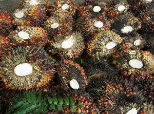 Recently harvested palm oil fruit, Borneo. Photo: Lian Pin Koh