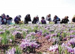 Women harvest saffron in Iran's Khorasan Razavi province.